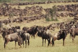 Wildebeest Pictures