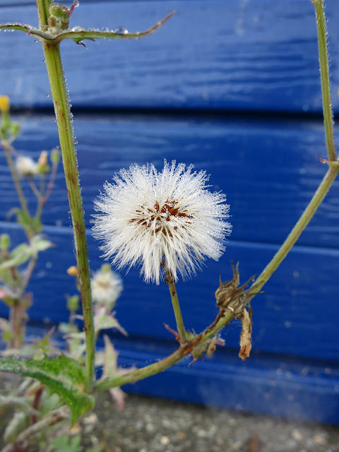 Fluffy seed-head in front of blue garage door