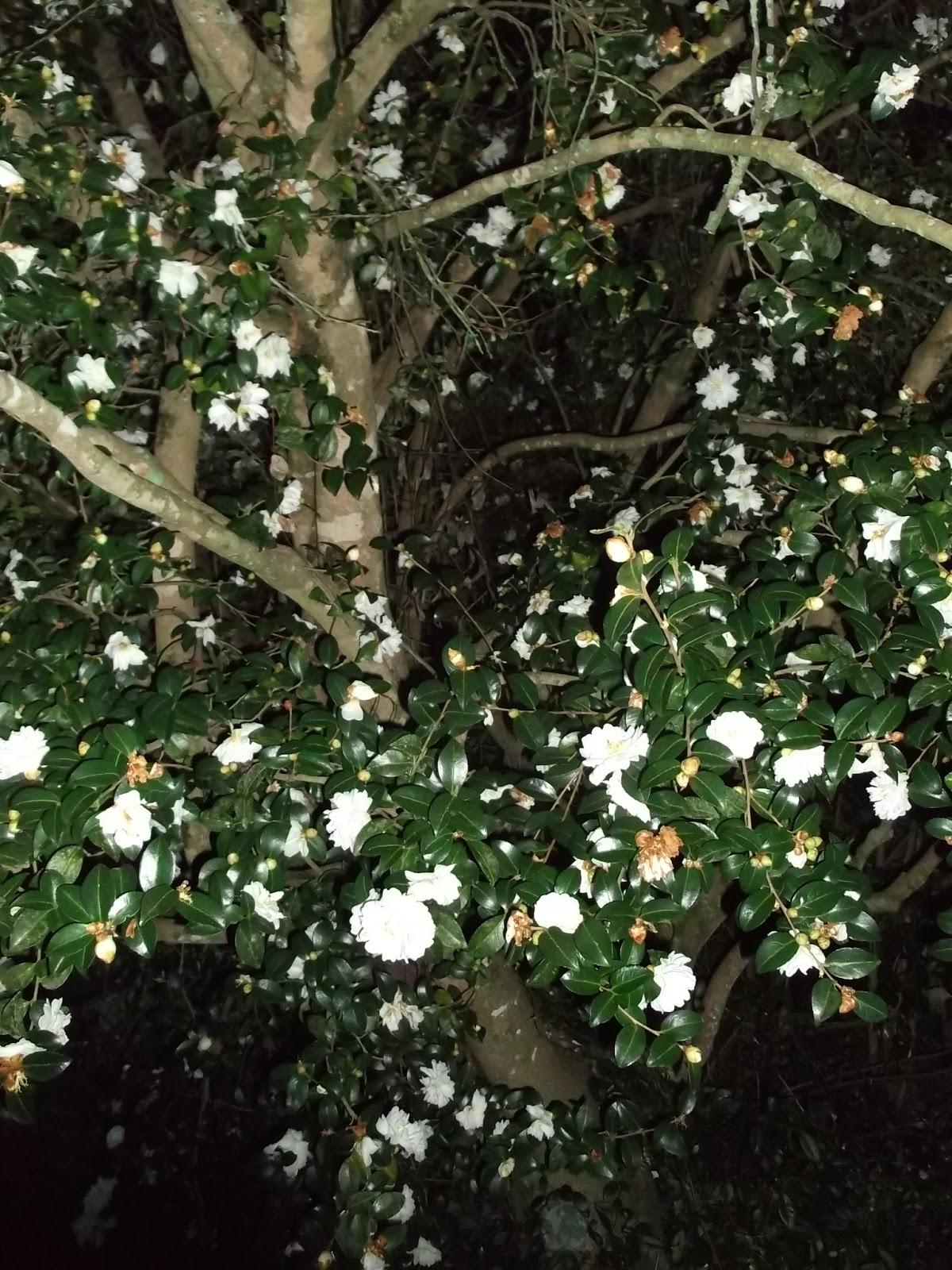 Secrets Of A Seed Scatterer Ancient Camellia Japonicas