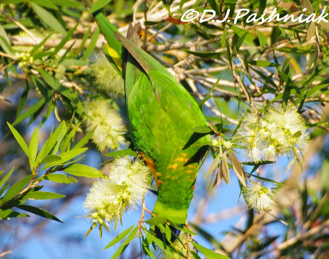 Sandy Straits and Beyond: Lorikeets in the Callistemons