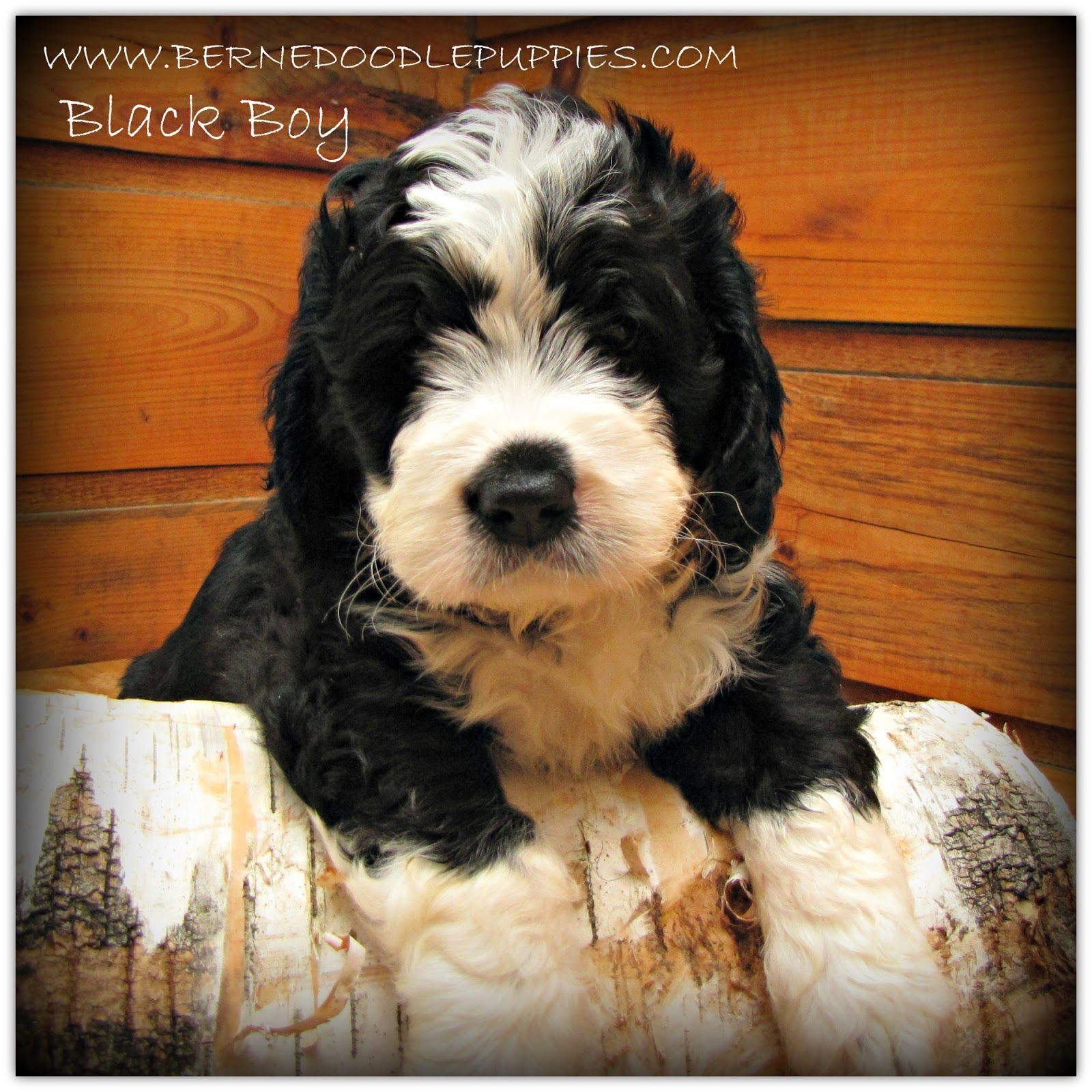 Bernedoodle puppies displaying 20 images for bernedoodle puppies