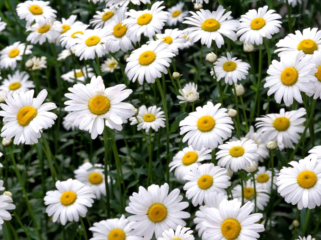 Benefits Of Roman Chamomile (Anthemis Nobilis) For Health