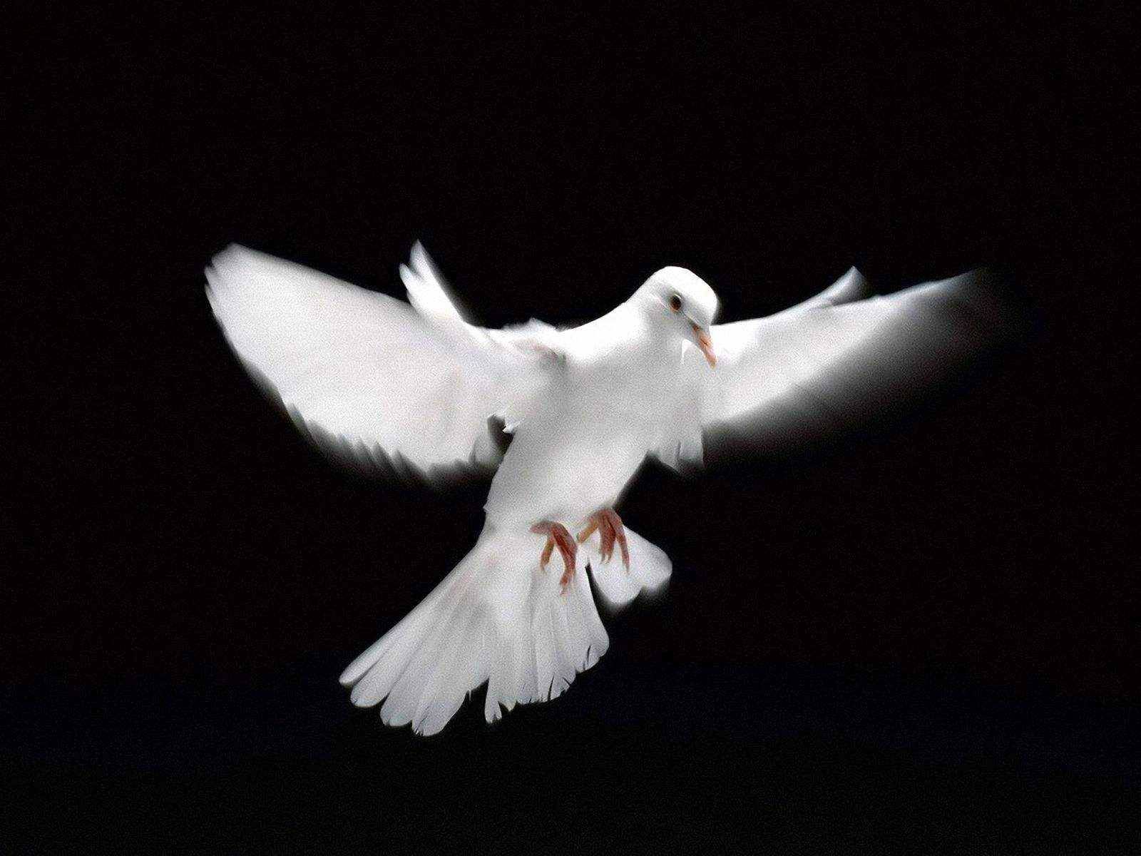 Image result for White Dove
