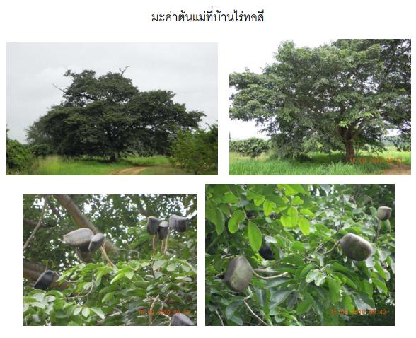 มะค่า มะค่าโมง เมล็ดมะค่าโมง มะค่าแต้ ข้อมูลน่ารู้เกี่ยวกับต้นมะค่า