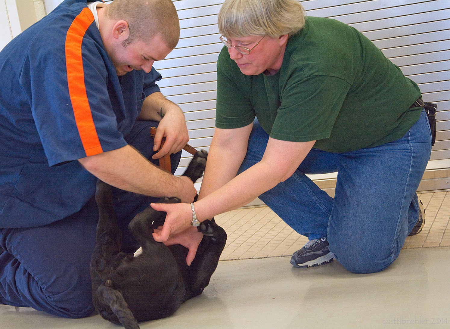 Now the woman is kneeling on one knee on the right side of the photo. She is leaning forward trying to checkt he paws of a small black lab puppy who is lying on his back on the floor. The puppy's four paws are wiggling in the air. A man is kneeling to the left of the puppy and trying to hold him still with his right hand. The man is lookng down at the puppy and laughing. He is wearing the blue prison uniform.