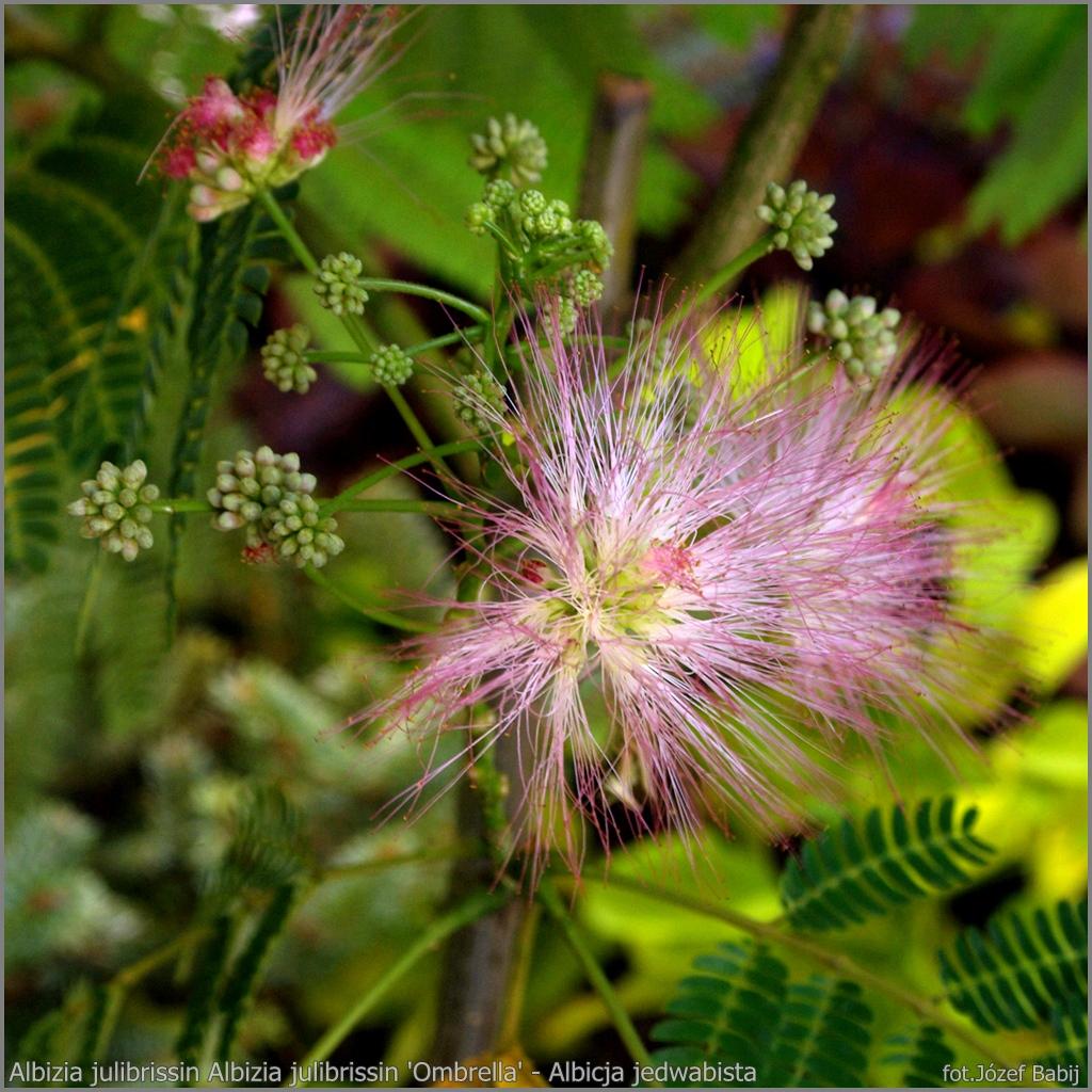 Albizia julibrissin 'Ombrella' flower - Albicja jedwabista kwiat