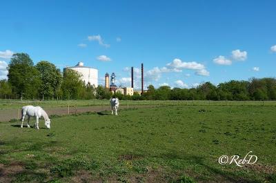 Örtofta sockerbruk, vita hästar, beteshage. foto: Reb Dutius