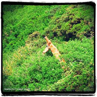 A random giraffe in Scarborough
