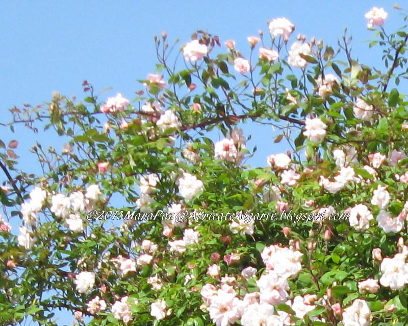 Rosas de Santa Terezinha
