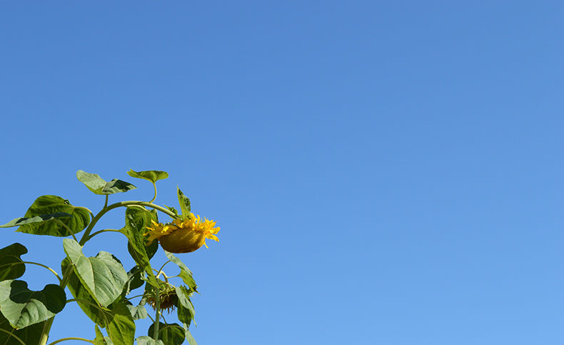 sunflower and a blue sky
