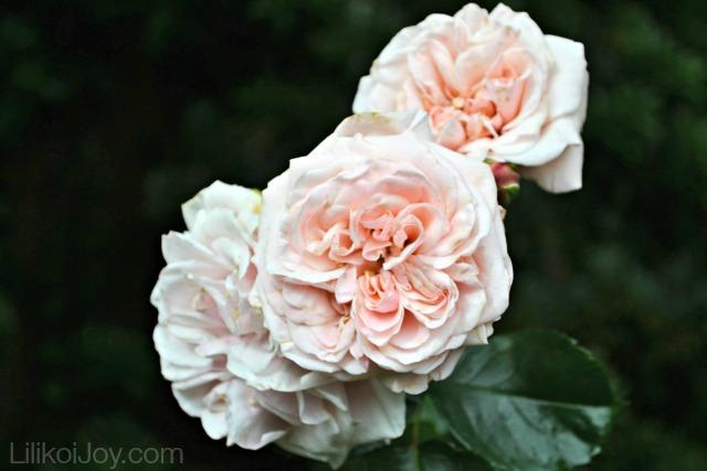 Summer Garden Tour: Pink roses