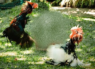 Balinese cock fight gambling, do not try it!