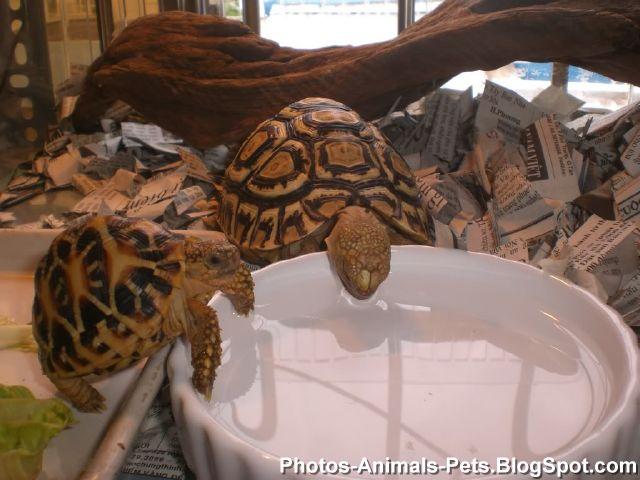pet baby turtle