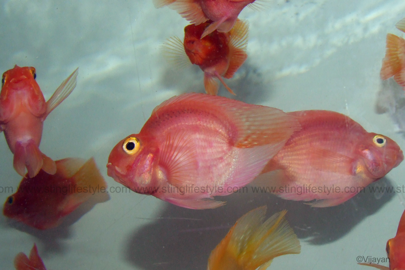 Blood parrot fish care for Blood parrot fish
