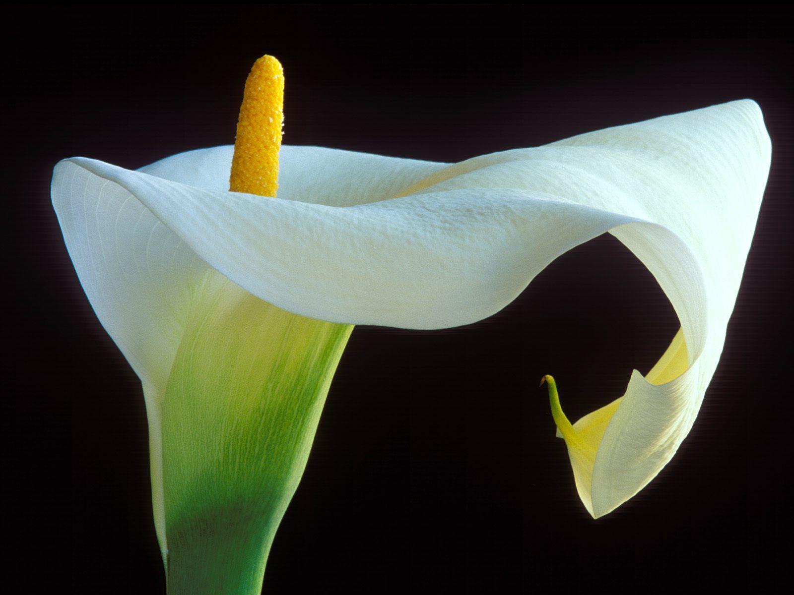 Imgenes de flores y plantas Cala