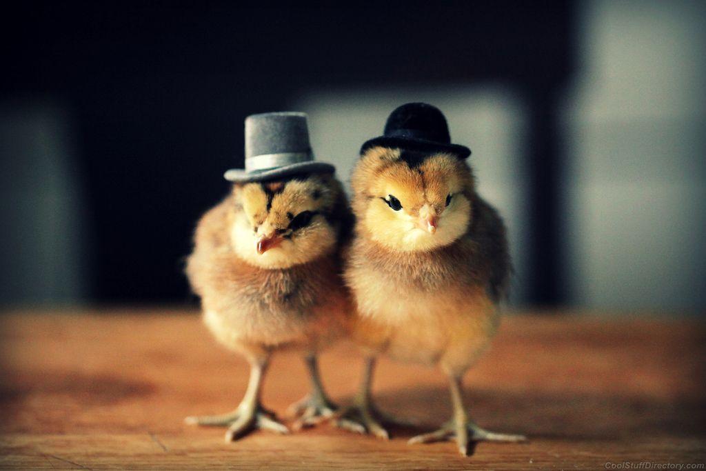 Модный цыпленок Фотоприколы Приколы