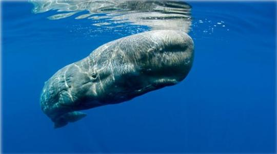 Pygmy right whale