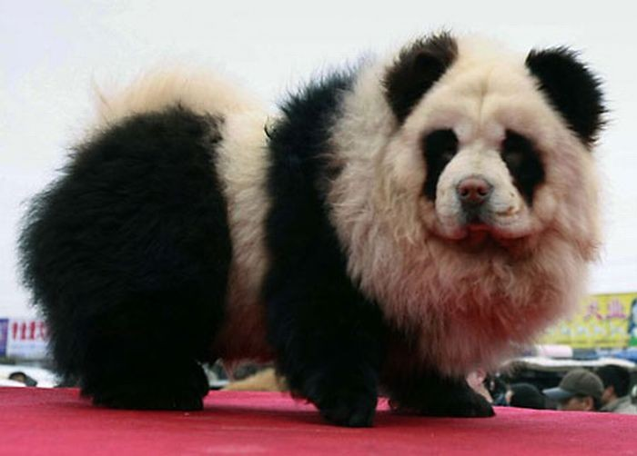 Anjing Lucu yang menyerupai panda dan harimau