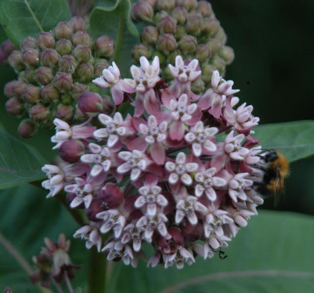 шмель на цветке ваточника