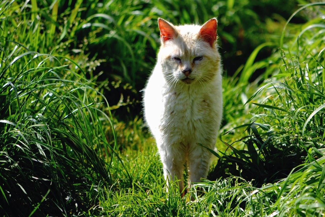 Whitey the mostly white feral tom cat