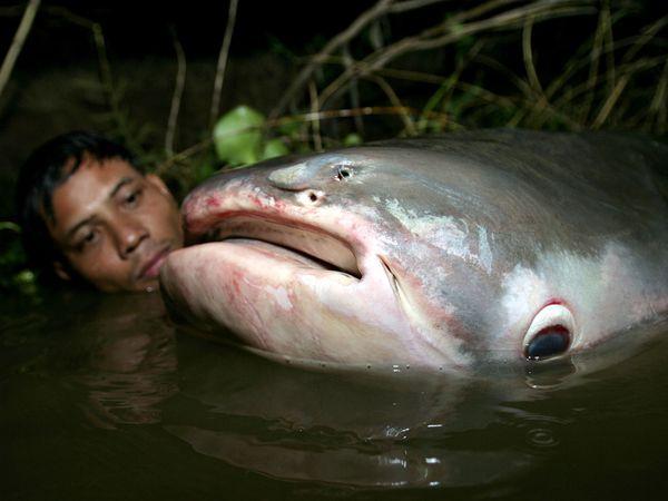Ikan keli gergasi pemakan manusia ditangkap di Sungai Mekong