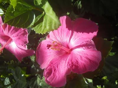 Kauai Hawaii Flower Pink Tropical