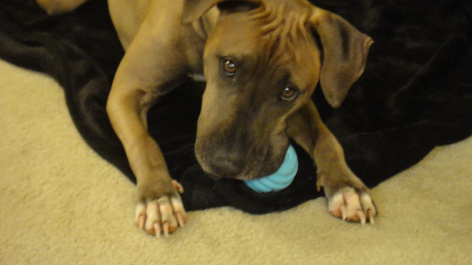 Tails to tell tail wagging tuesday special pup feature keko for Shar pei puppies for sale craigslist
