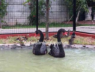Jual angsa hias jenis black swan atau angsa hitam
