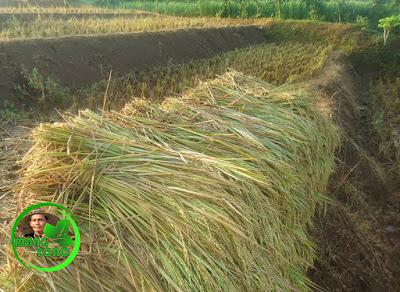 Mengumpulkan pohon padi yang sudah diarit
