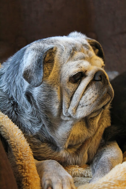 Portrait of an Old Pug