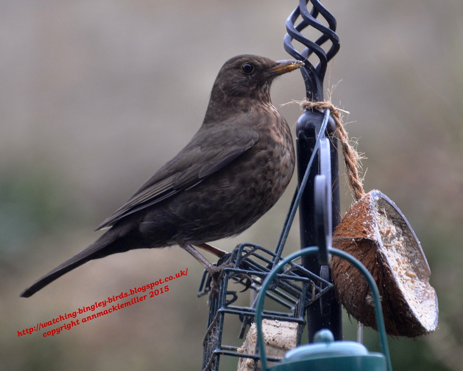 Female Blackbird on coconut feeder
