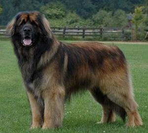 Cachorros enormes