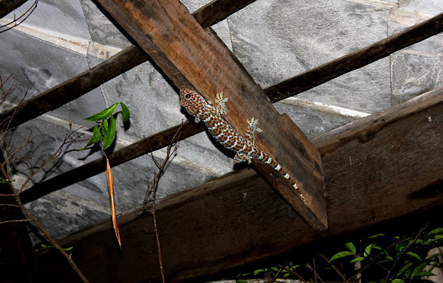 Tokay gecko Thailand