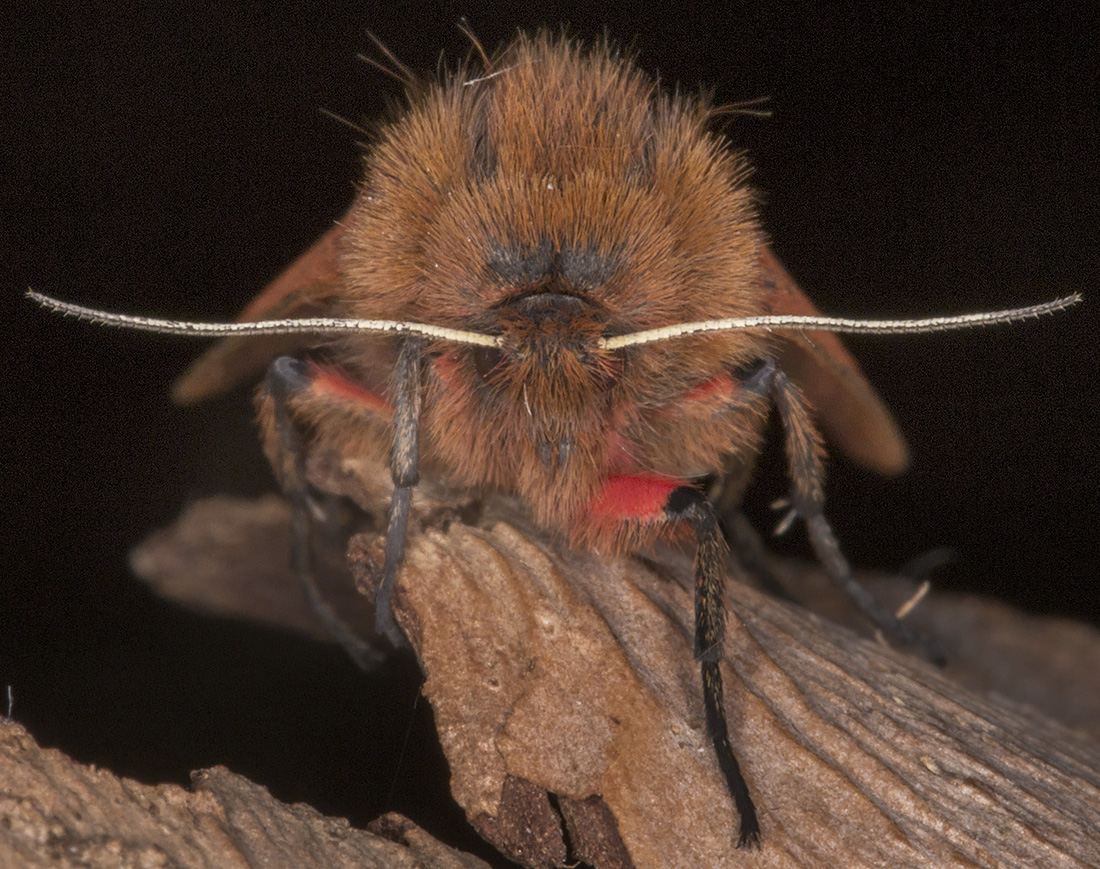 Ruby Tiger, Phragmatobia fuliginosa fuliginosa.  Hayes, 14 September 2014.