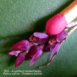 Acianthera modestíssima do blogdabeteorquideas