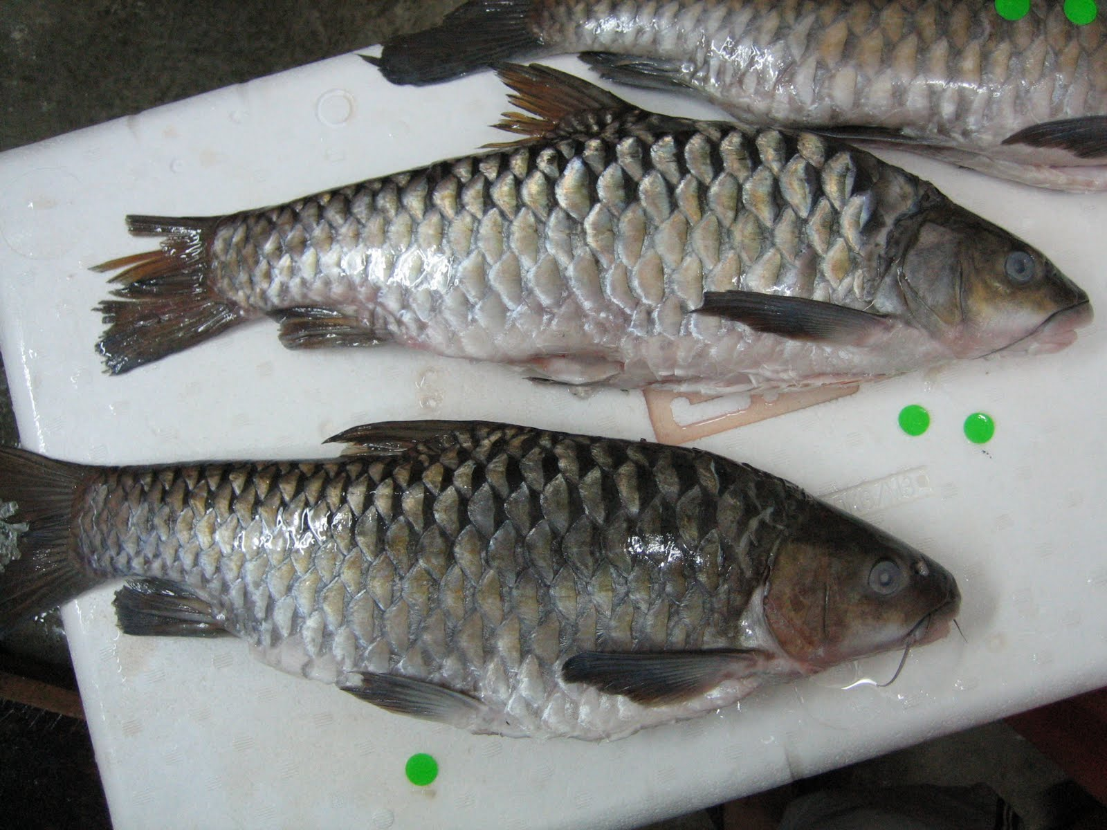 Freshwater fish in malaysia - After The Fish Are Cleaned Properly All The Empurau Were Qc Piece By Piece To Separate Between The Spoilt Loko Hard Skin And Good Quality Aromatic Smell