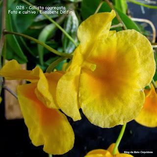 Dendrobium aggregatum, Dendrobium indleyi, Epidendrum aggregatum, Dendrobium albovuride