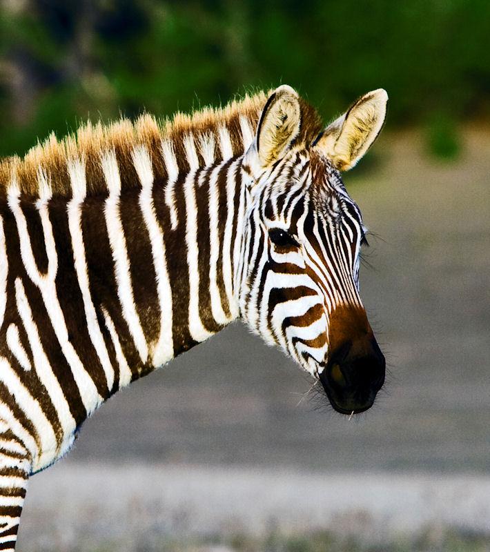 Zebra face profile - photo#25