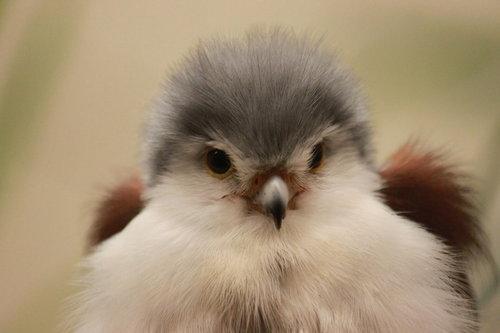 Cute Baby Falcon