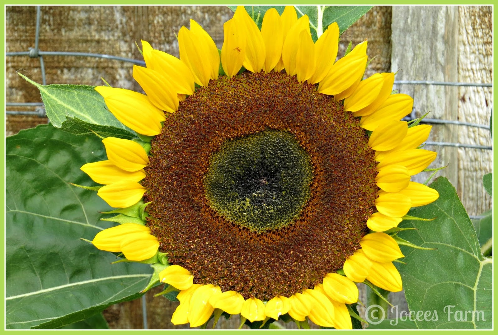 Sunflowers  @  joceesfarm.blogspot.com