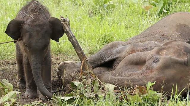 Er wordt een doodzieke moederolifant gevonden met een baby olifantje, Sri Lanka