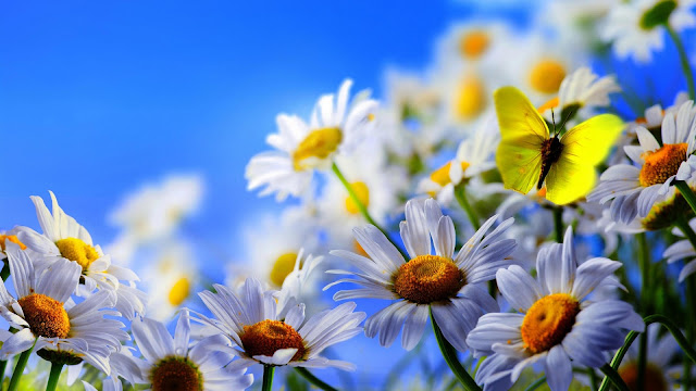 White Daisy Flowers Yellow Butterfly Blue Sky HD Wallpaper