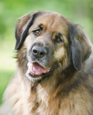 A portrait of a happy leonberger with beautiful brown eyes