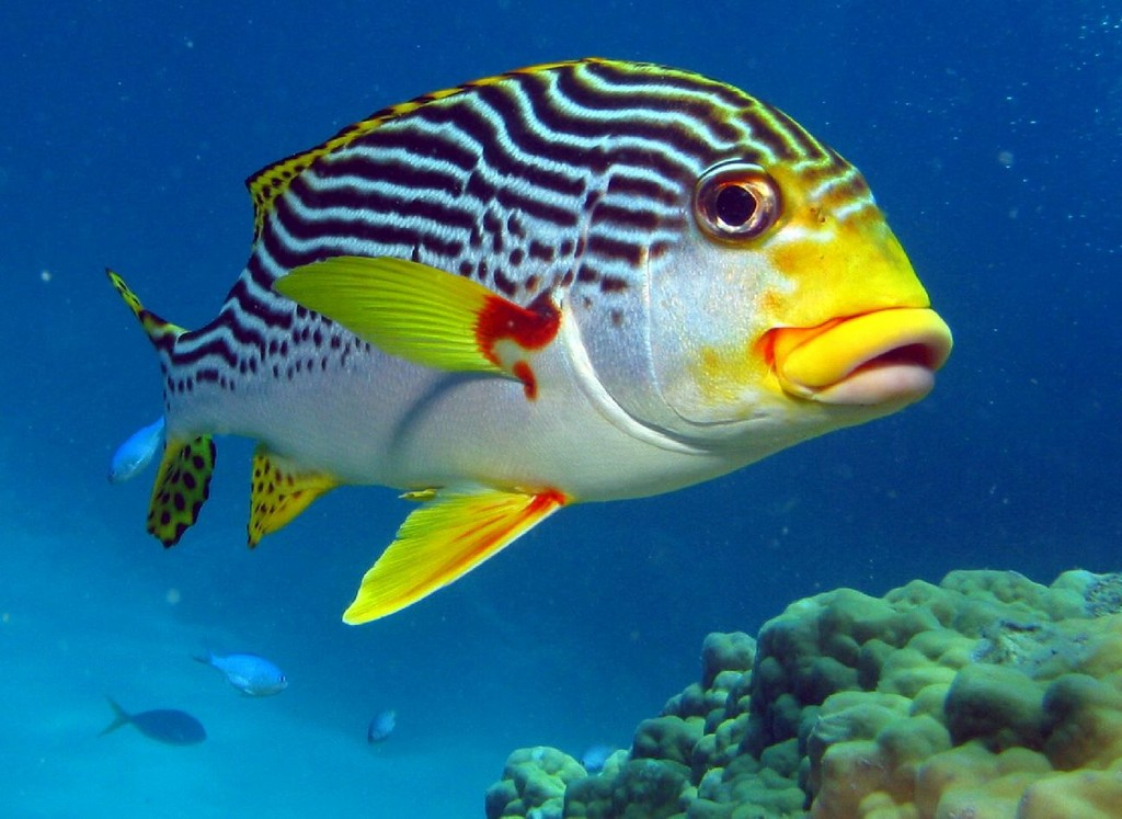 fish index diagonal banded sweetlips plectorhinchus