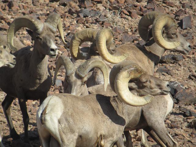 AZ+Desert+Bighorn+Sheep+Scouting+Pics+by+Colburn+and+Scott+Outfitters+15.JPG