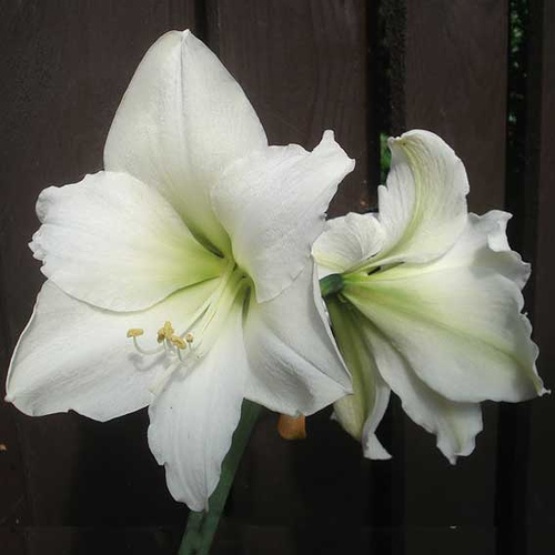 Flower amaryllis meaning for Signification amaryllis