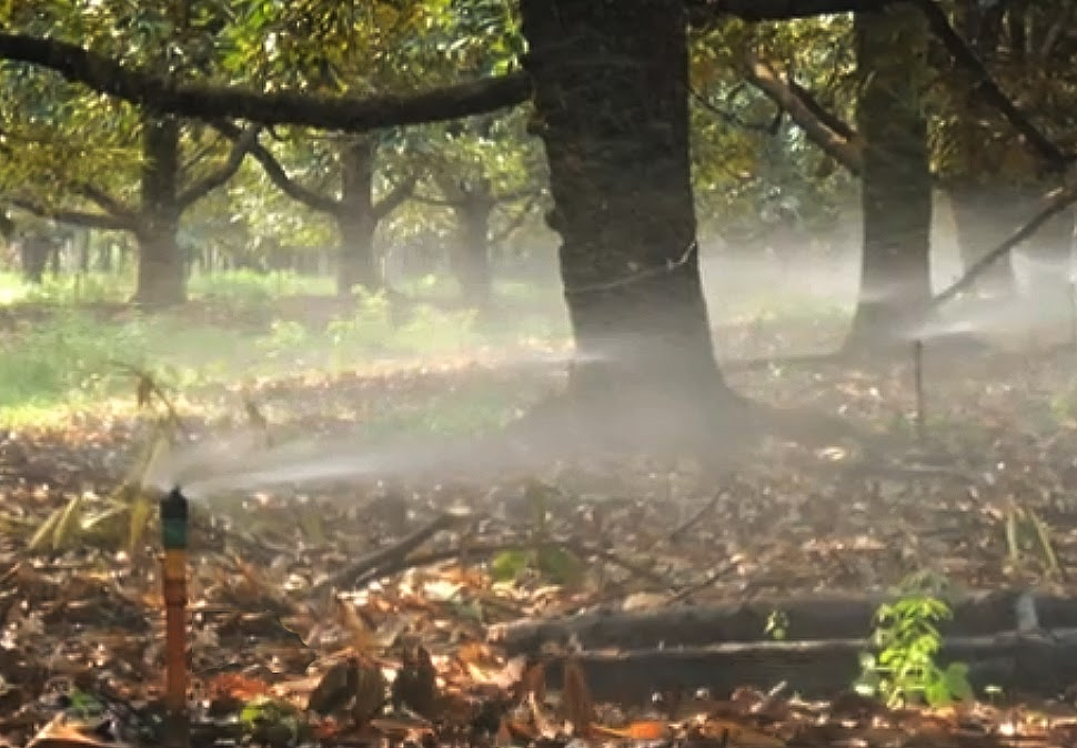 Durian Info Foliar Fertilization Or Foliar Feeding