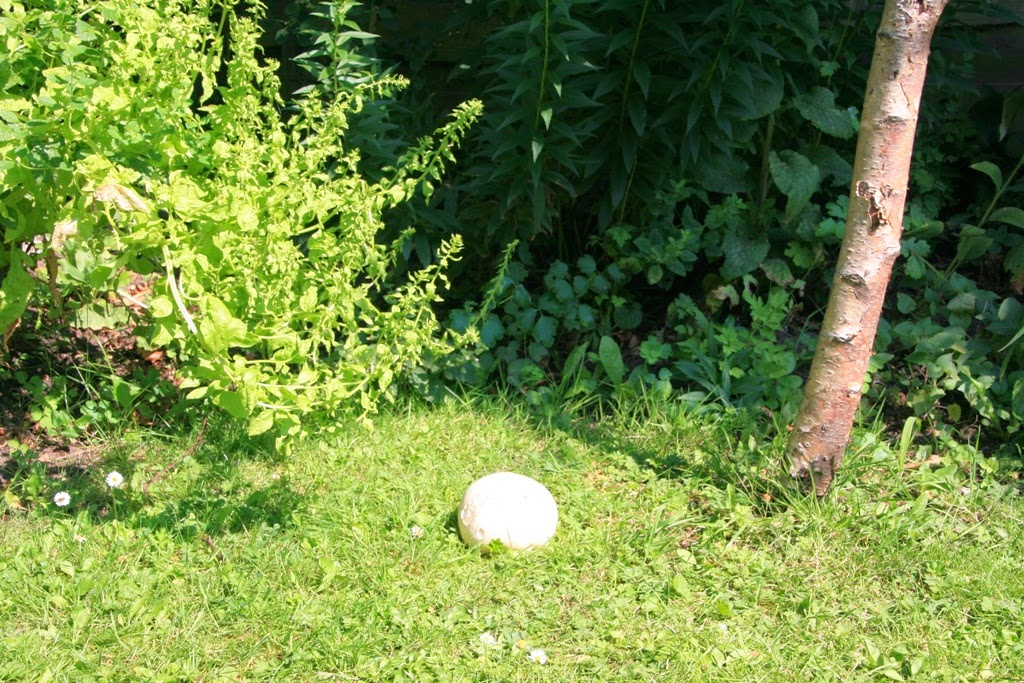Giant Puffball - in the garden
