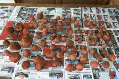 Red Norland potato harvest laid out on newspaper to cure