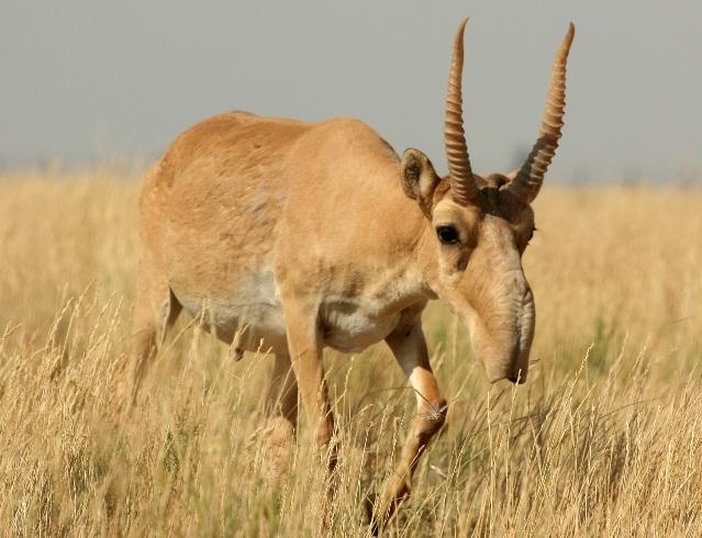 external image saiga-antelope-photo-credit-n-j-singh.jpg